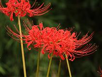 《彼岸花の季節》奈良県香芝市
