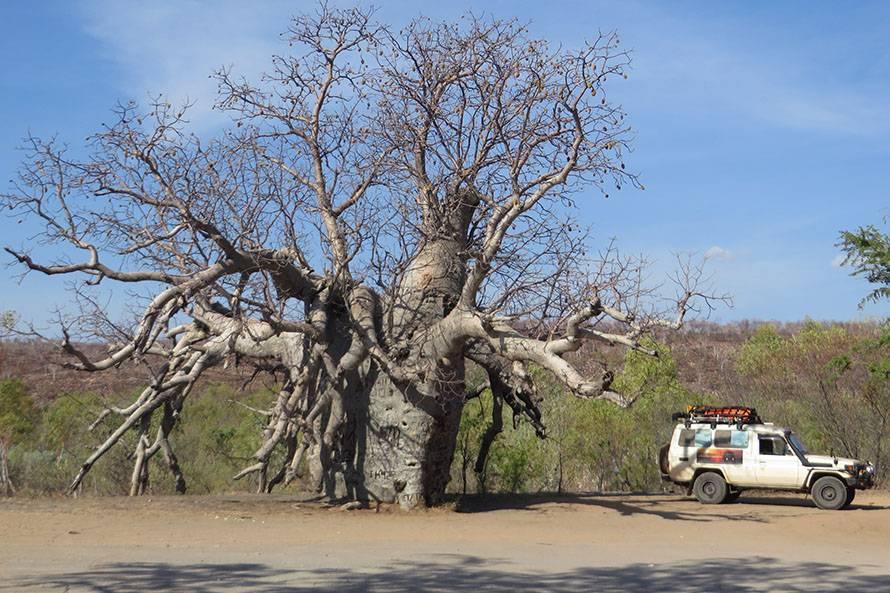 キンバリー地方のギブリバー・ロードにあった大きなバオバブの木
