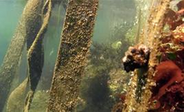 シートベルトの画期的リユース! 山形・酒田の海で海藻を再現