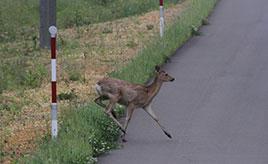 動物よけ警笛でシカの飛び出しは防げるか? ニッポンレンタカー北海道(株)の取り組み