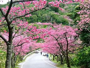 日本列島の長さを実感!日本一早いお花見ドライブを楽しもう 沖縄県本部町