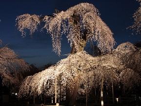 ライトアップも美しい、見事なしだれ桜を見る春のドライブ 埼玉県秩父市