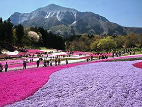 圧巻!芝桜に埋め尽くされる羊山公園芝桜の丘へドライブ 埼玉県秩父市