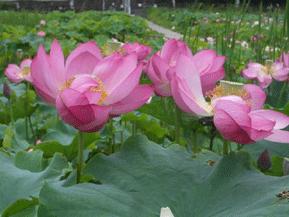 幻想的な花ハスや飛び交うホタルに出会うドライブ 埼玉県秩父市