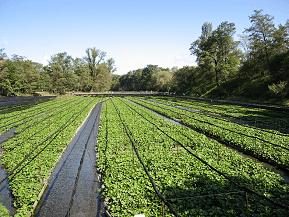 澄んだ湧水と美しいワサビ畑を散策!大王わさび農場へドライブ 長野県安曇野市