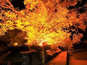 ライトアップされた大イチョウと人気の温泉郷へ秋のドライブ 熊本県小国町