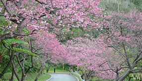 春を先取り!早咲きの桜を愛でる「もとぶ八重岳桜まつり」へドライブ 沖縄県本部町
