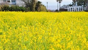 春をお持ち帰り!菜の花畑やいちご狩りへ早春のドライブ 千葉県南房総市