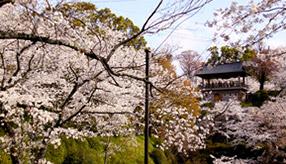 歴史あるひな人形が集合!美しく咲き誇る桜の里へドライブ 熊本県菊池市