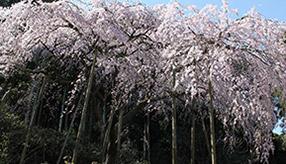 樹齢100年のしだれ桜に感嘆!春の田ノ頭郷の丘へドライブ 長崎県波佐見町