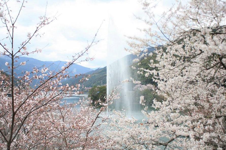 「一万本桜」と呼ばれる市房ダム湖の桜。ダム湖に映える満開の桜が美しい。