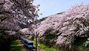 まつりや信玄のかくし湯へ!春のお花見ドライブ 神奈川県山北町
