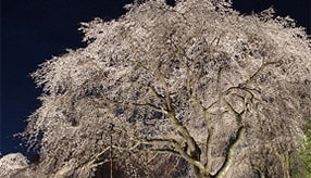 圧巻のシダレ桜&温泉通も絶賛の「おふろcafé」へ!春の休日ドライブ 埼玉県秩父市