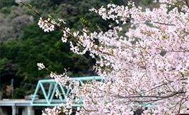 春うらら!ダム湖沿いの国道をお花見ドライブ 和歌山県有田川町