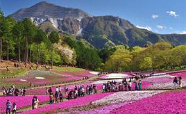 まさに花のじゅうたん!色鮮やかな芝桜の丘へドライブ 埼玉県秩父市