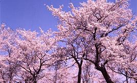 4月下旬からが見頃!夜神楽奉納にも注目!遠野さくらまつりへドライブ 岩手県遠野市