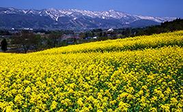 一面黄色の花畑にうっとり!いいやま菜の花まつりへドライブ 長野県飯山市