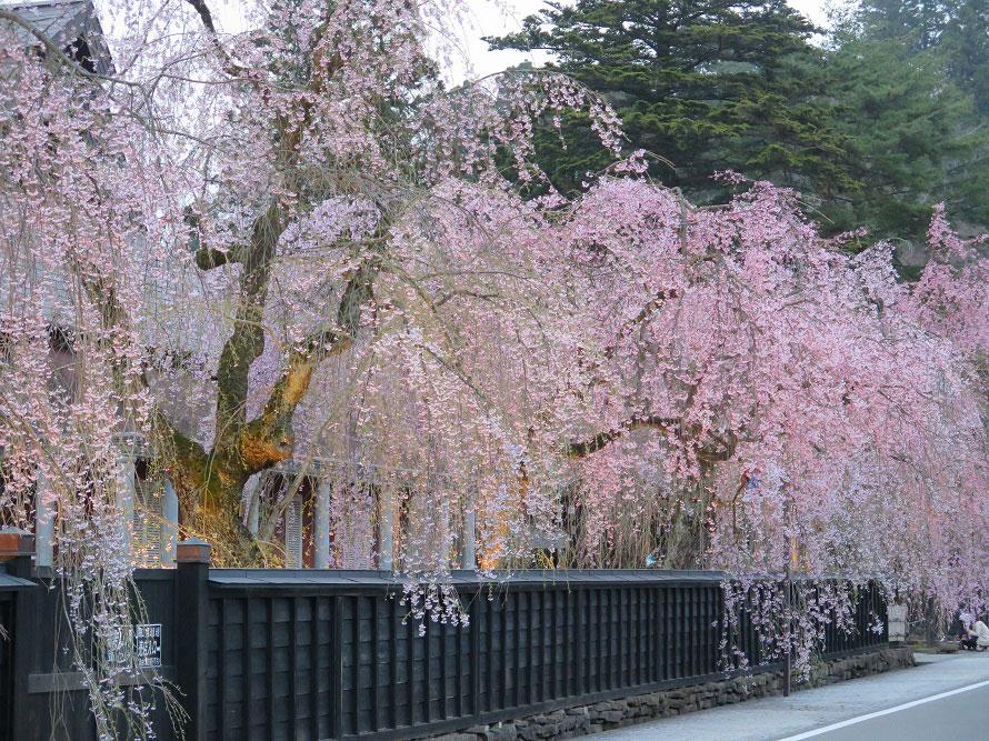 角館樺細工伝承館前のシダレザクラ。全部で450本ほどあるシダレザクラのうち、162本が国の天然記念物に指定されている。