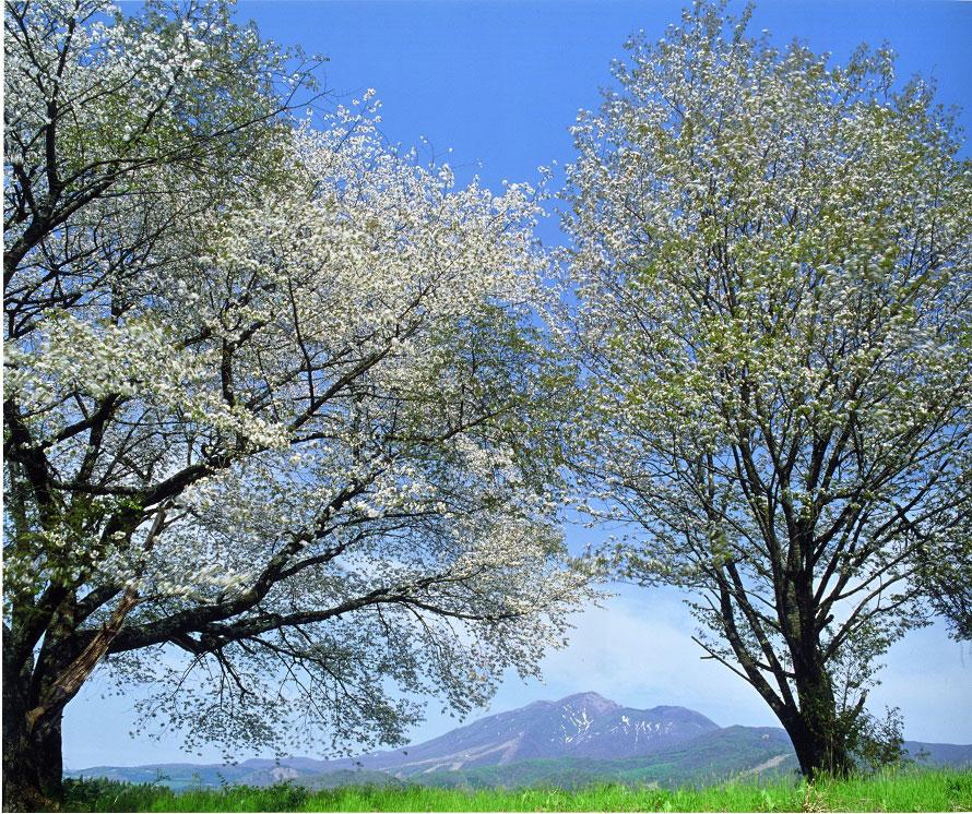 田沢湖畔では桜、ソメイヨシノが咲く。例年5月上旬から中旬にかけて開花。