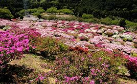 5月上旬が見頃!ツツジの名所・竹の古場公園へドライブ 佐賀県伊万里市