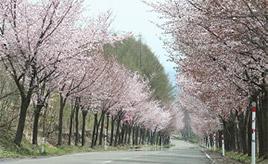 世界一長い桜並木?!岩木山オオヤマザクラネックレスロードをドライブ 青森県鰺ヶ沢町