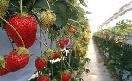 6月下旬までイチゴ狩りが楽しめる!豊平どんぐり園へドライブ 広島県北広島町