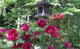 幻のトロかぶも味わおう!色とりどりに咲くぼたんまつりへ 栃木県那須塩原市