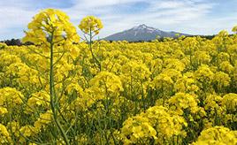 写真を撮りたくなる絶景!残雪の津軽富士と菜の花畑へドライブ 青森県鰺ヶ沢町