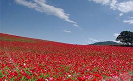 その数1500万本!一面の花畑に圧倒される「天空のポピー」 埼玉県皆野町・東秩父村