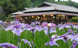 「西山の里 桃源」の花菖蒲まつりへ 初夏のお花見ドライブ 茨城県常陸太田市