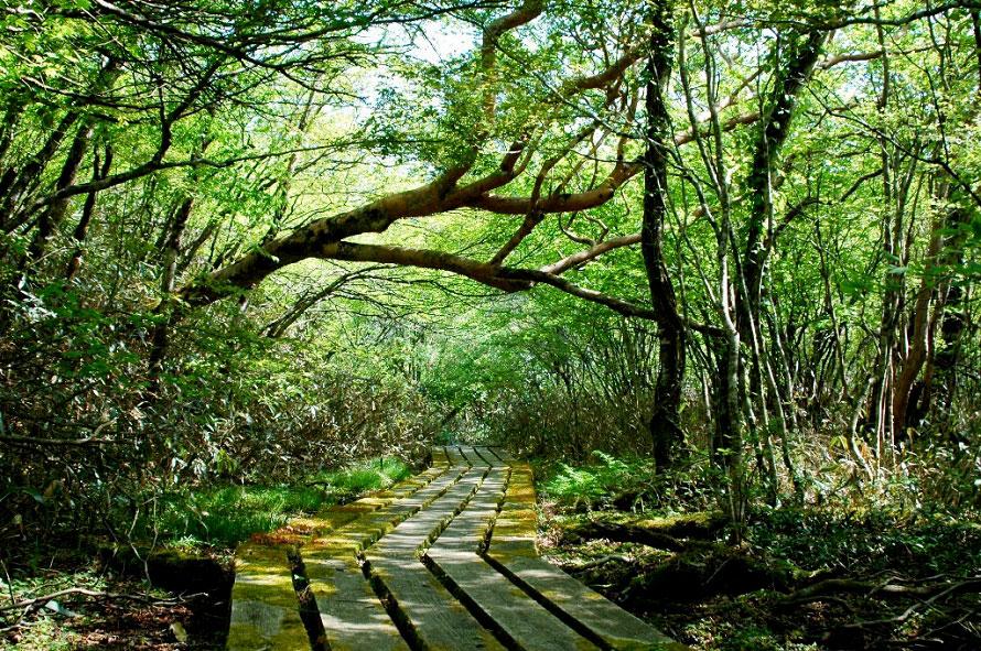 シャクナゲの群落のほか、オオミズゴケや北方遺留植物など、学術的にも貴重な植生を見ることができる