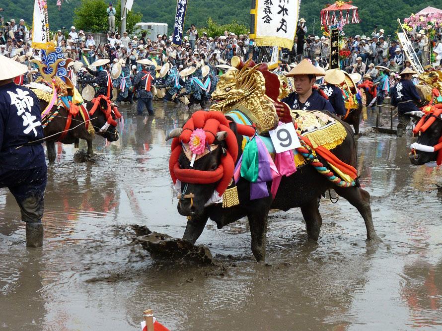 金色の鞍や造花、首玉(綿を入れた赤い布袋)が華やかな飾り牛による代掻き。この日のために調教されてきた黒毛の牛だ