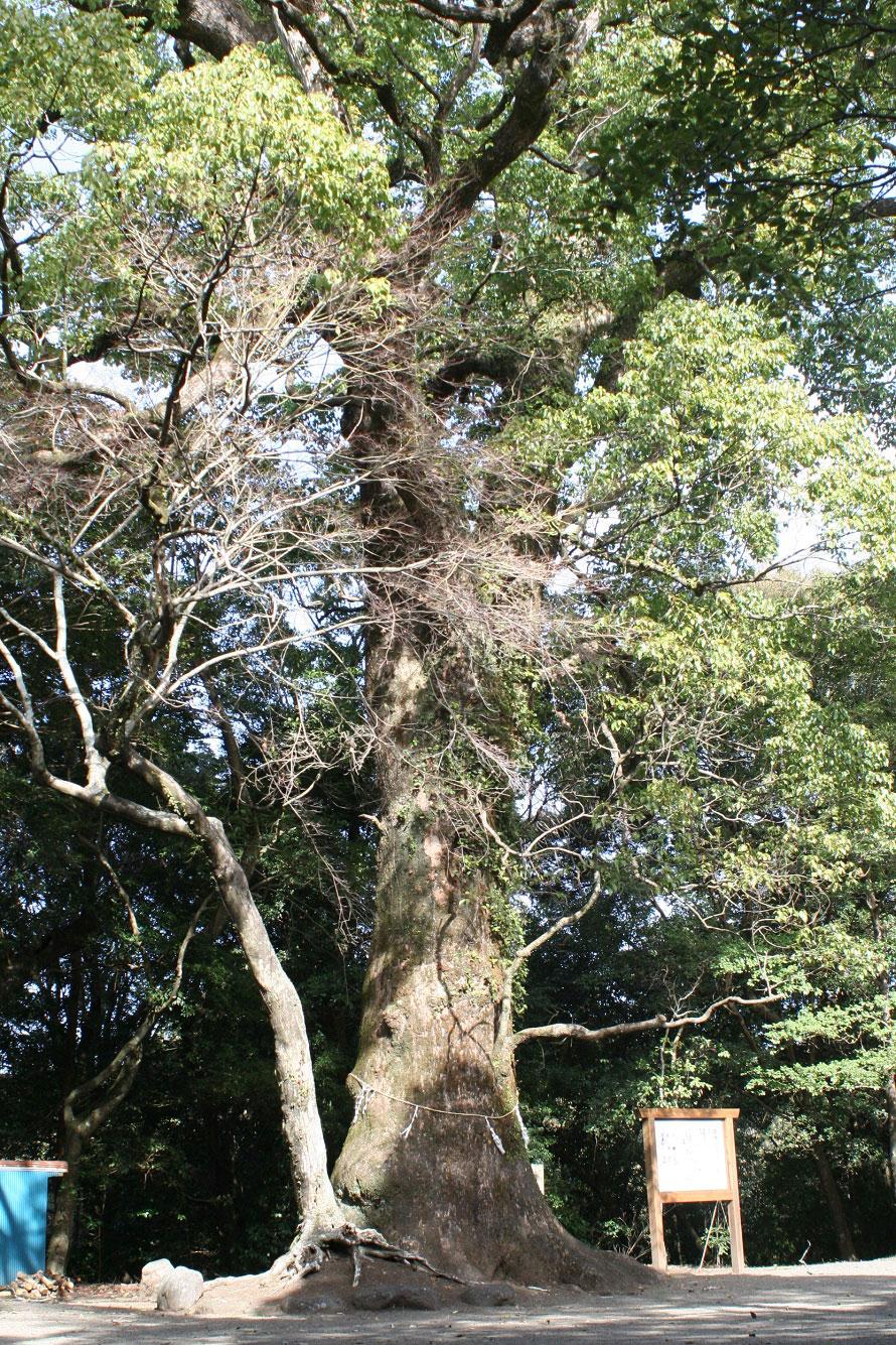 綾神社のご神木である大クスノキ。高さ19m、幹回り6mもあり、樹齢は約300年