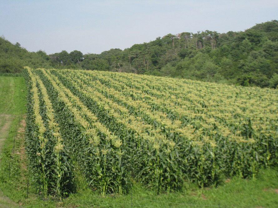 一面を覆い尽くすとうもろこし畑。直売所を設けているところもある。