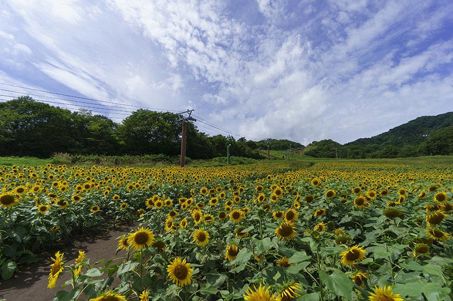 4~5か所のエリアに分かれており、それぞれ開花時期が異なるので長い期間花を楽しめる。最初に咲くのは花畑展望台南部。