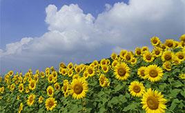 東北最大級!250万本が咲き誇るひまわり畑へドライブ 福島県喜多方市