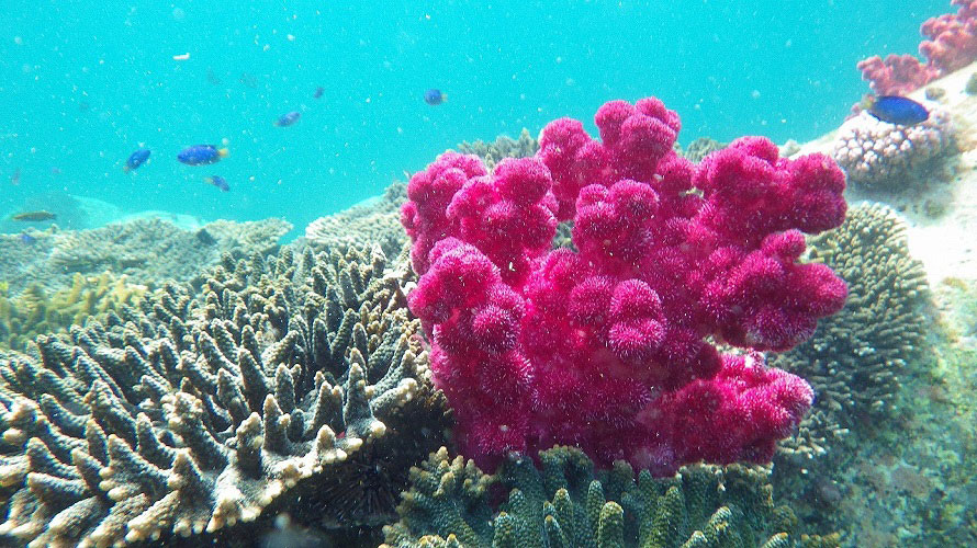 たくさんのテーブルサンゴが群生。スキューバダイビングで、きれいなサンゴ礁に出会えるかも。