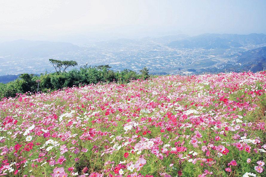 一面に咲き誇るコスモス。遠くに見えるのは有田川と湯浅湾。