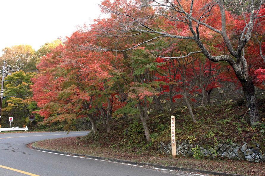 道路沿いにモミジをはじめカエデ、ナラ、ナナカマド、ブナ、シラカバなどが赤や橙、黄色に色づく。