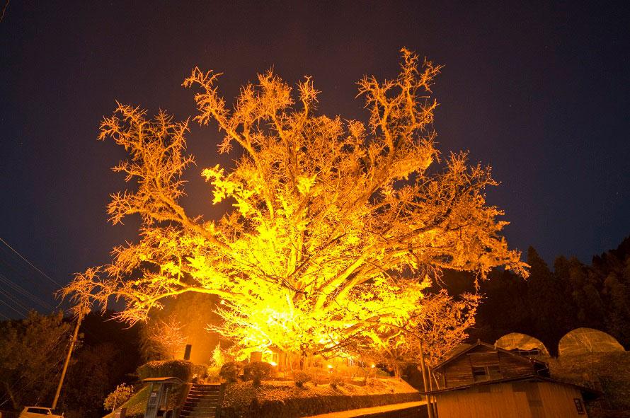 暗闇に浮かび上がる大イチョウは幻想的。写真を撮る人も多い。