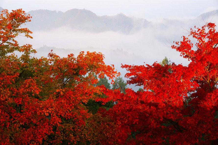 鮮やかな紅葉と雲海のコラボレーションが見事。雲海が発生しやすい時期は早朝から多くの人が訪れる。