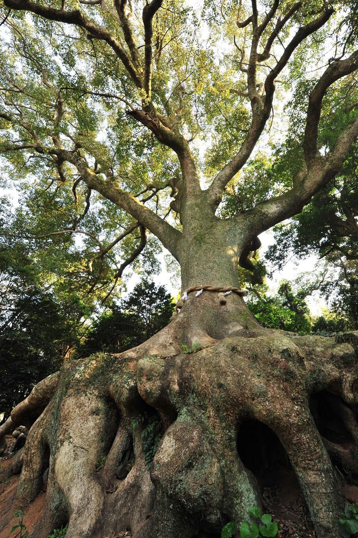 境内にどっしりと根を張る楠の大木。生命力を感じるむき出しになった木の根に、パワーをもらえそう!