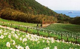 可憐な水仙の花咲く立川水仙郷へドライブ 兵庫県洲本市