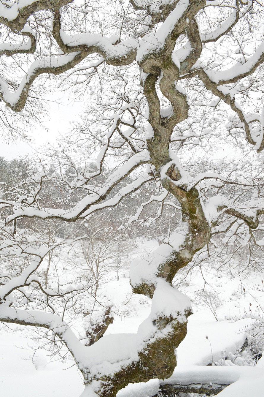 最大のものは目通り幹囲(めどおりかんい/人の目の高さで計測する樹木の幹囲)約4.5m、樹高約12m。
