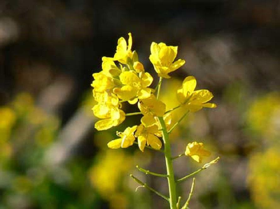 見頃は3月上旬~中旬だが、菜の花自体は5月上旬頃まで咲いている。