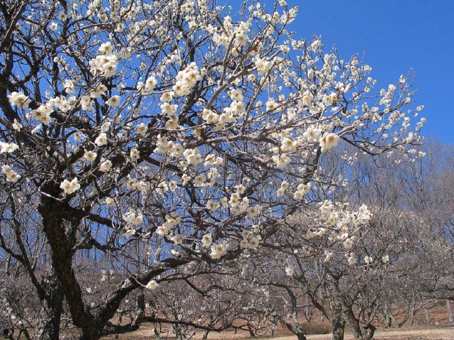 15種類、600本もの梅が咲き誇る光景は圧巻!