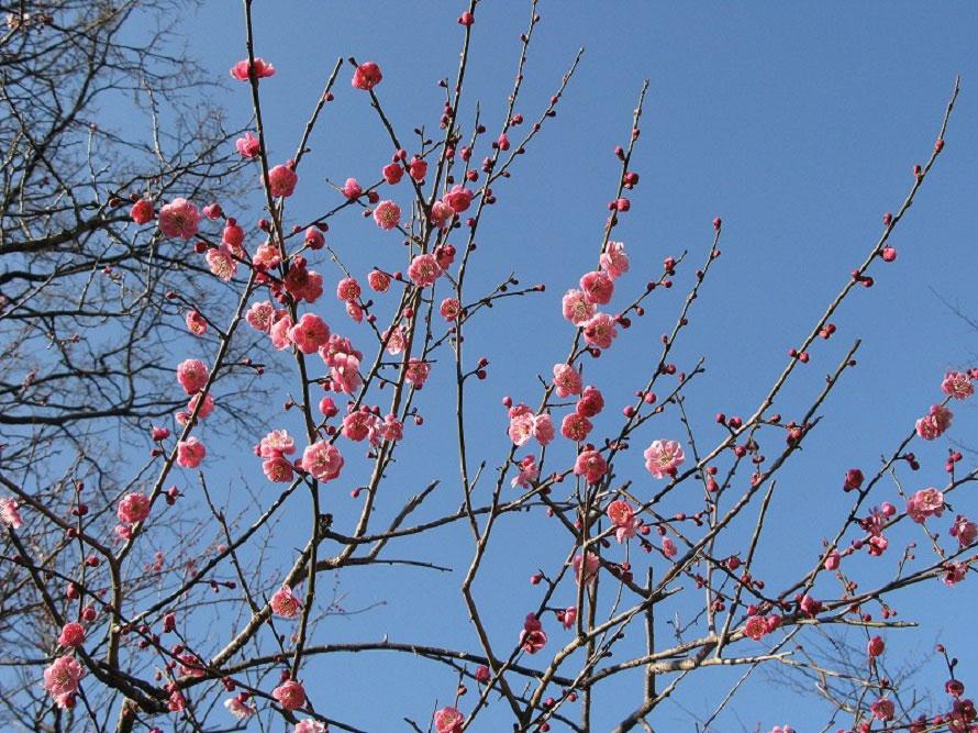 園内の花で最初に開花する梅。梅のほかにもスイセンやチューリップ、アジサイ、ヘメロカリスなどが咲く。