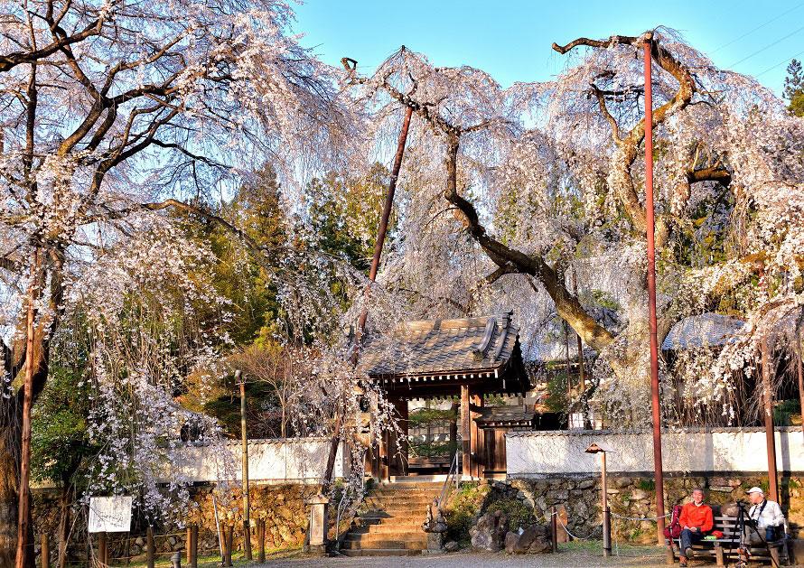 約30本の桜の木が植えられた清雲寺。そのなかには樹齢600年を超えるしだれ桜もある。