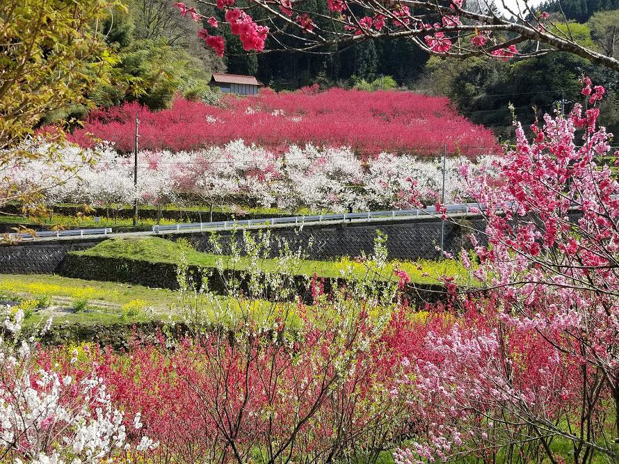 ハナモモの開花時期は例年4月上旬頃で、約2週間は開花を楽しめるという。
