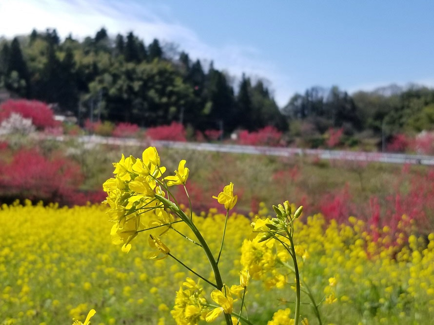 ハナモモの濃紅と菜の花の黄色がなんとも春らしい。